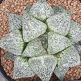픽타  실생 3|Haworthia picta