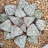 픽타 실생 12|Haworthia picta