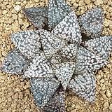 픽타 실생 16|Haworthia picta