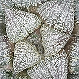 픽타 실생 25|Haworthia picta