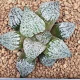 은사 픽타|Haworthia picta