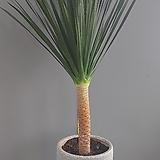 드라코 동일품배송 화분높이 40 넓이25 식물전체140