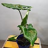 실버드레곤알로카시아(한목대) 수입식물  수형좋아요