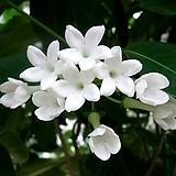 마다가스카르 자스민(꽃대대품)