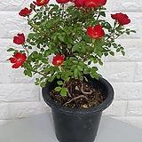 ♥찔레 장미(빨강)32 ♥벨벳 찔레장미 빨강색꽃 근상