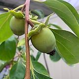 수양감나무(단품)|