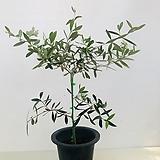 올리브나무 /아르베키나 자가수정 (동일품배송 )|