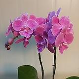 호접란 분홍 