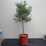올리브나무/토피리어형|