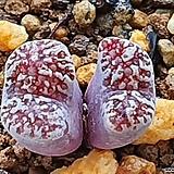 Conophytum Neohallii yellow flower 네오할리 황화
