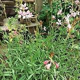 백접초(바늘꽃)|