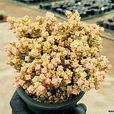 Crassula Rupestris variegata