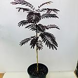 썸머초코렛 /자엽자귀나무(노지월동)|