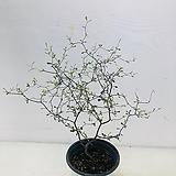코로키아실버 (동일품배송 )|