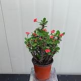 미니꽃기린 빨강|