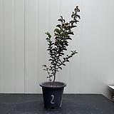 흰꽃 자엽백일홍(블랙다이아몬)#2|