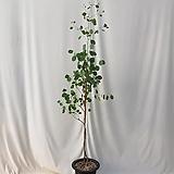 (동일품) 유칼립투스 폴리안 대품 전체 175센치, 포트제외 식물 높이만 155센치 내외 