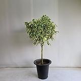 스트라이트벤자민/공기정화식물/반려식물/온누리 꽃농원|