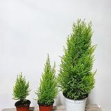 피톤치드 율마 상큼한 향 공기정화식물|