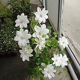 큰꽃으아리-백설공주 클레마티스VPOV 보호종  sedum spathulifolium