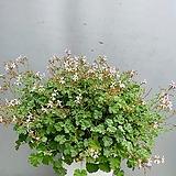 유럽제라늄/화이트링/꽃대 봉우리상태