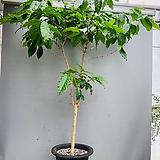 커피나무 특대품/ 동일품배송/ 높이 165 너비 120|