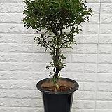 ♥피라칸사스48 ♥공기정화식물 