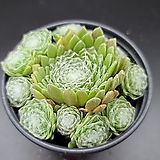 거미줄 바위솔 Sempervivum arachnoideum tomentosum