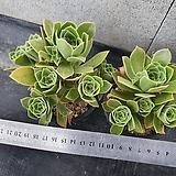 Aeonium그린로즈2set Sedeveria Green Rose