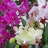 호접란-최고급미니종3색 3개묶음 특가  