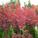 정원수 조경수 자엽안개나무 묘목 포트|