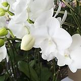 신종호접란-백설화최고급미니종쌍대 