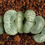 옥선 실생선발(Tr-151)|Haworthia truncata