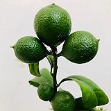 오렌지레몬 (동일품배송 )|