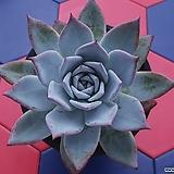 콜로라타아이스-대|Echeveria colorata