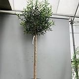 올리브나무 특특대품/ 동일품배송/ 높이 195 너비 65|