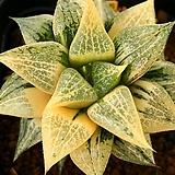 콤프토니아금|Haworthia comptonia