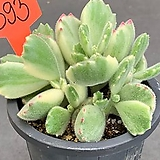 웅동자금 0707-393|Cotyledon tomentosa f. variegata