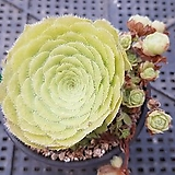 희면경|Aeonium tabuliforme hyb