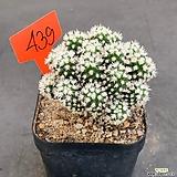 눈꽃선인장 0707-439|Mammillaria gracilis cv.