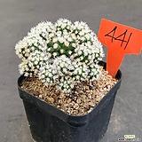 눈꽃선인장 0707-441|Mammillaria gracilis cv.