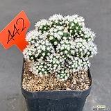눈꽃선인장 0707-442|Mammillaria gracilis cv.
