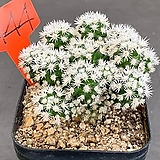 눈꽃선인장 0707-444|Mammillaria gracilis cv.