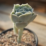 러블리로즈 0704-71|Echeveria Lovely Rose