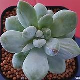 후레뉴금|Pachyphytum cv Frevel