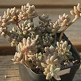 베라하긴스합식 0704-79|Graptopetalum Mirinae