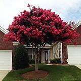 배롱나무 다이나미이트(성목)-1포트 