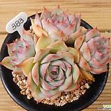 묵은 핑크팁스|Echeveria Pink Tips