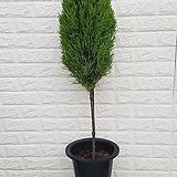 ♥율마(외목대)56 공기정화식물♥ 
