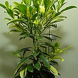 칼라워터쟈스민9번-물을좋아하는 향기좋은 나무-동일품배송|